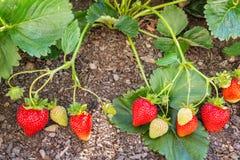 Jordgubbeväxt med mogna jordgubbar som växer i organisk trädgård fotografering för bildbyråer