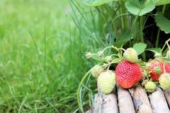 Jordgubbeväxt med mogna och omogna jordgubbar Arkivbild