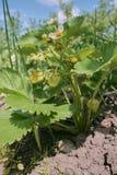 Jordgubbeväxt på jordningen Flera omogna jordgubbebär på stammen royaltyfri bild