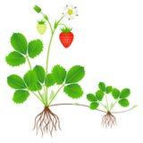 Jordgubbeväxten med rotar, blommor, frukter och dotterväxten stock illustrationer