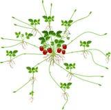 Jordgubbeväxten med rotar, blommor, frukter, talrika stolons och dotterväxter Vegetativ reprod royaltyfri illustrationer