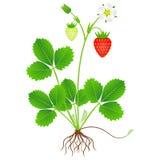 Jordgubbeväxten med rotar och bär frukt på en vit bakgrund vektor illustrationer
