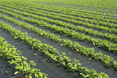 Jordgubbeväxter Royaltyfri Bild