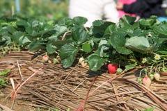 Jordgubbeväxter Fotografering för Bildbyråer