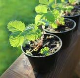 Jordgubbeväxter i krukor Arkivfoton