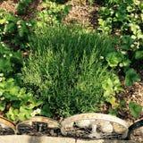 Jordgubbeväxter och örter Arkivfoto