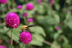 jordklot för blomma för amaranthbisnickare Arkivfoton