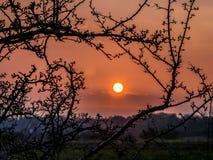 Jordklotsolnedgång som inramas med trädfilialer i vår Royaltyfria Bilder