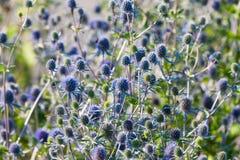 Jordklotthistlen, Veitchs blått (Echinopsritroen) Royaltyfria Bilder