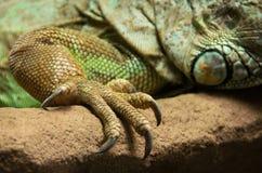 Jordluckrare av den skäggiga drakenärbilden för central Arkivfoton