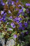 Jordmurgröna (Glechomahederaceaen) Royaltyfria Bilder