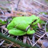 jordnära grön groda Fotografering för Bildbyråer