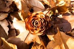 Jordning sörjer kottar Royaltyfri Foto