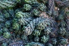 Jordning som täckas i härliga exotiska Haworthiopsis Reinwardtii suckulenta växter royaltyfria foton