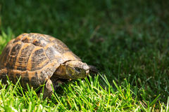 Jordsköldpadda Arkivbilder
