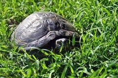 Jordsköldpadda Arkivbild