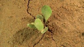 Jordskalvrevor grundar ifrån varandra och att skaka jorden med sprickan i land med den växande växten, katastrofbegreppet arkivfilmer