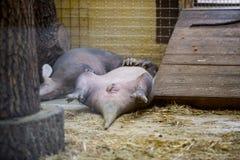 Jordsvinet som vilar att ligga på din baksida med lyftta ben upp Roligt djur I Fotografering för Bildbyråer