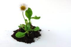 jordväxt Royaltyfria Bilder
