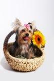 Jork dosyć mały pies Fotografia Royalty Free