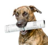 Jornal levando do cão Isolado no fundo branco Fotos de Stock Royalty Free