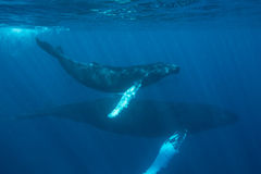 Jorobas de la madre y del becerro subacuáticas fotos de archivo libres de regalías