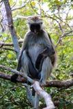 Josani-Wald-Sansibar-Affe Stockfotografie