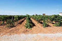 Jose L. Ferrer vineyard Royalty Free Stock Photo