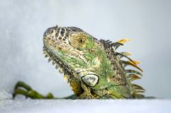 Jose l'iguane images stock
