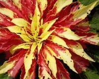 Joseph żakieta Amaranthus tricolor 'Splendens' Obrazy Stock