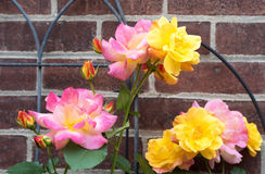 Joseph's Coat Multi-colored Rose Stock Images