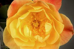 Joseph's Coat Rose Beauty Stock Photo