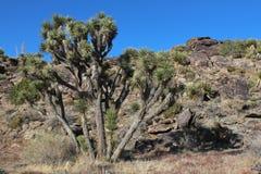 Joshua-Bäume Stockfotografie