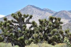 Joshua-Bäume angesehen in der Kalifornien-Wüste lizenzfreie stockfotografie