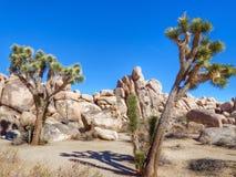 Joshua-Bäume in der Wüste Lizenzfreies Stockfoto