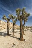 Joshua-Bäume in der Wüste Stockbild