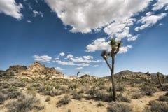 Joshua-Bäume in der Wüste Stockfotos