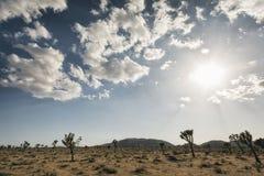 Joshua-Bäume in der Wüste Stockfotografie