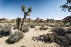 Joshua-Bäume in der Wüste Stockfoto