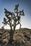 Joshua-Bäume in der Wüste Lizenzfreie Stockfotografie