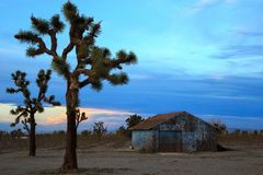 Joshua and barn. Joshua trees and an old barn on a farm Stock Images