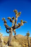 Joshua-Baum stockfoto