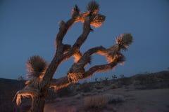 Joshua-Baum an der Dämmerung Stockbilder