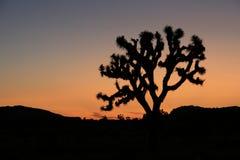 Joshua-Baum in der Morgen-Leuchte Stockfotos