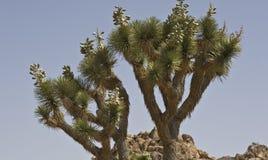 Joshua-Baum-Nationalpark lizenzfreies stockfoto