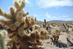 вал национального парка joshua cholla кактуса стоковые фото
