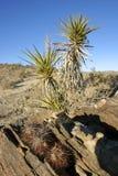Joshua drzewa krajobrazu jukki Brevifolia Mojave pustyni Joshua drzewo Zdjęcie Stock