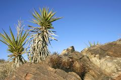 Joshua drzewa krajobrazu jukki Brevifolia Mojave pustyni Joshua drzewo Obrazy Stock