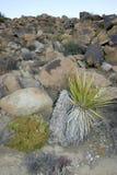 Joshua drzewa krajobrazu jukki Brevifolia Mojave pustyni Joshua drzewo Zdjęcia Royalty Free