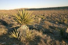 Joshua drzewa krajobrazu jukki Brevifolia Mojave pustyni Joshua drzewo Obraz Royalty Free